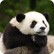 Panda Live Wallpaper HD by Bumble_Bi
