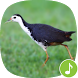 Appp.io - White-breasted waterhen Calls