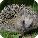 Hedgehog Live Wallpaper by MimaWp