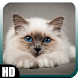 Siamese Cat Wallpaper by GalaxyLwp