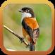 Kicau Master Burung Cendet by Anggit G