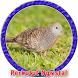 Kicau Burung Perkutut Juara MP3