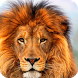 Lion HD Live Wallpaper by WallpapersLove