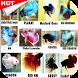 Ikan Cupang Hias by Infopremia