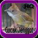 Kicau Master Cucak Jenggot HD by fridadev