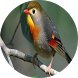master american robin by musketir