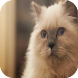 Birman Cats Wallpapers by Laland Apps