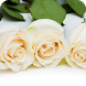 White Roses Wallpaper by WallpapersCompany