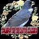 Coleiro Tui Tui Canto Clássico by Raja Burung App