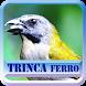 Canto Fêmea De Trinca Ferro by azalea.musicstudio