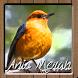 Kicau Master Burung Anis Merah by Anggit G