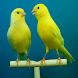 Kanarya Kuşu Sesleri, Zil Sesi by srdrsoft