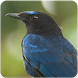 Bird Song of Malabar Whistling Thrush Sound by Nic and Chloe Studio