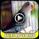 Kicau Love Bird Geleng Geleng by MAKITAMEGA_APPS