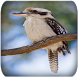 Kookaburra sounds by EliasWilliam