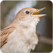 Common Nightingale Bird Sounds : Nightingale Song by Nic and Chloe Studio