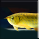 Arowana Gold LiveWallpaper by sonisoft