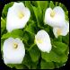 HD Wallpaper - Calla Lily Flower by Wallpaper Pro