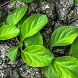 green leaves live wallpaper by Pretty and cute wallpapers llc