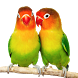 Merawat Burung lovebird by Asdapp