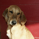 Segugio Maremmano Dogs Jigsaw by redzpetz