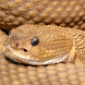 rattlesnakes wallpaper by cool backgrounds moving llc
