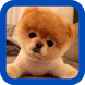 Pomeranian wallpaper by Peanut