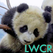 Baby Panda Live Wallpaper by lwcr