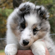 Shetland Sheepdog Dogs Jigsaw by redzpetz