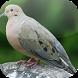 Suara Burung Perkutut by Mhmapp Studio