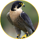 Peregrine Falcon sounds by BirdDev