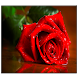 Rose Live Wallpaper by SoftFree2015