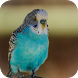 Budgie Wallpaper by MAMS Tech
