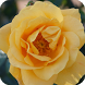 Yellow Rose Live Wallpaper by DreamWallpapers