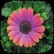 HD Wallpaper - African Daisy Flower by Wallpaper Pro
