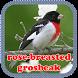 rose-breasted grosbeak by Joz Developers