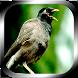 1499 Kicau Burung Tledekan by Jayakerta Bizz