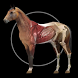 Horse Anatomy: Equine 3D by Real Bodywork