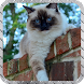 Siamese Cat Wallpaper by LiveHD