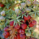 Juniper Flower Wallpapers by fryttyteam