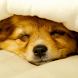 sleeping puppy wallpapers by ashwin.gamedev