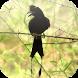 Suara Burung Srigunting by Mhmapp Studio