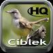 Master Kicau Ciblek HD by fridadev