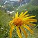 Heilpflanzen der Alpen by Dr. Enz alois