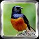 Kicau Burung Lengkap by Tone Apps