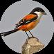 Master Kicau Burung Cendet by Knanda