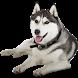 Husky Widget/Stickers by Miracle (HD Widgets)