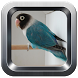 kicau lovebird offline by Kenzie Music Studio