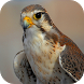 Falcon Wallpapers by Dabster Software Solution