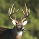 Whitetail Deer Calls by Nielsen Family Creations